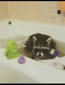 Raccoon plays in the tub with his rubber duckies [Video]