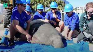 Florida Manatee Rescued As Water Temperatures Drop [Video]