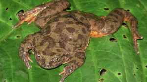 Froget-me-not! 'World's loneliest frog' finally finds his Juliet – after more than 10 years a bachelor [Video]