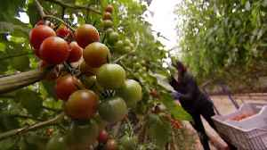 Tomato prices 'may rise 10%' if there is a no-deal Brexit [Video]