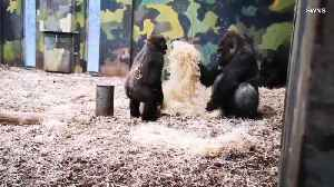 Watch as Young Gorilla Annoys His Older Brother by Throwing Hay on Him [Video]