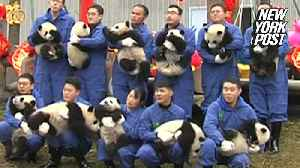 Panda cubs put on an adorable show during their public debut [Video]