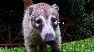 Adorable baby coatis curiously investigate camera [Video]