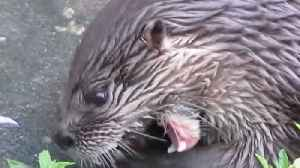Adorable otter looks like a maniac when eating [Video]
