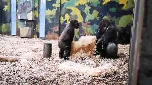 Baby gorilla attempts to annoy his older brother [Video]