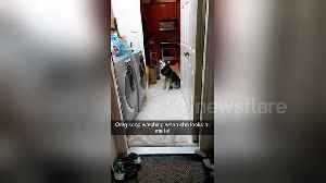 Husky's reaction to owner putting her new tennis balls in the dryer [Video]