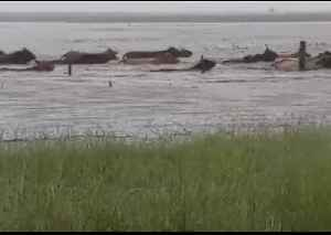 Farmer Calls In Chopper to Herd Cattle Out Of Flooded Paddock in North Queensland [Video]