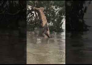 Tired Croc Climbs a Tree to Escape Townsville Floodwaters [Video]