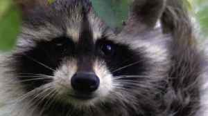 This Raccoon Is Having A Very Bad Day [Video]