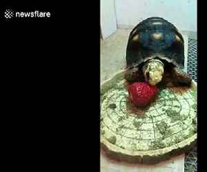 Tortoise struggles to eat strawberry treat on Chinese New Year's Eve [Video]