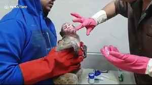 Monkey burned after rickshaw accident is treated with ointment for its injuries [Video]