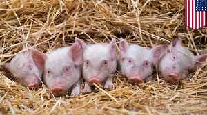 Mini pig craze leads to growing number of pigs at shelters [Video]