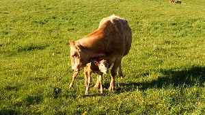 Mother Cow's Love For Her Newborn Baby Will Warm Your Heart [Video]