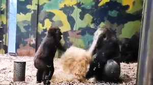 Cheeky gorilla tries to play with brother at Danish zoo [Video]