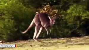 Scientists Reveal When Kangaroos Started Hopping [Video]