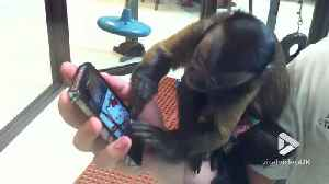 Monkey tries to figure out iPhone [Video]