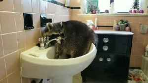 Bored raccoon chills out in bathroom sink [Video]
