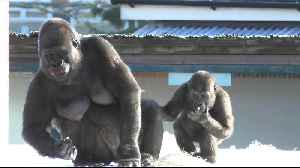 Gorilla youngster beats chest at mom, instantly regrets it [Video]