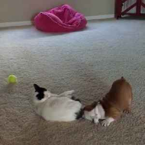 Cat Annoyed by Playful Bulldog Puppy [Video]