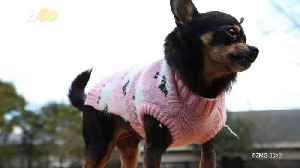 Chubby Chihuahua Em-Barks on Weight Loss Journey, Sheds More Than Half Her Weight [Video]