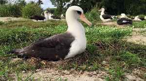Wisdom, World's Oldest Known Wild Bird, Just Hatched A New Chick At 68 [Video]