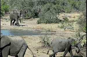 Grumpy elephant chases thirsty warthogs away from watering hole [Video]