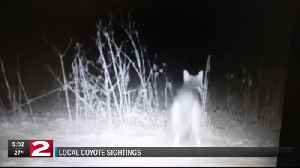 Coyote sightings in Marcy [Video]