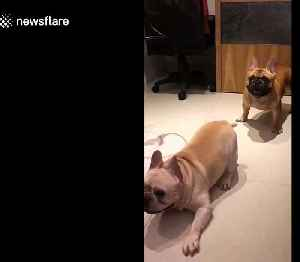 French bulldogs go nuts to sound of drums [Video]