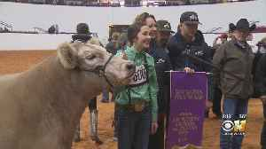 Grand Champion Steer Crowned At Fort Worth Stock Show [Video]