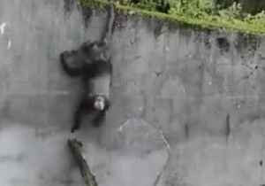 Chimps Escape Enclosure at Belfast Zoo During Storm Erik [Video]
