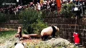 News video: Security guard hangs upside-down to rescue girl that fell into panda enclosure
