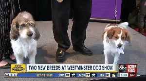 Two new breeds debuting at 143rd Westminster dog show [Video]