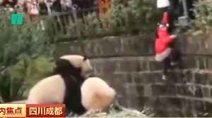 News video: Girl Falls In Panda Enclosure In China