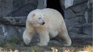 News video: Polar Bears Invade Russian Town,  Attack People