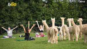 Downward Facing Alpaca! The Unusual New Yoga You Didn't Know You Needed! [Video]