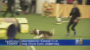 143rd Westminster Kennel Club Dog Show Gets Underway [Video]