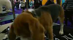 Thousands of dogs vie for Best in Show at New York's Westminster contest [Video]