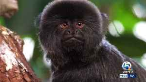 Police: 12-year-old monkey stolen from the Palm Beach Zoo [Video]