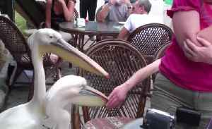 She could not eat in peace. All for two pelicans [Video]