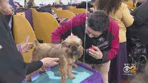 Dogs Get Final Makeovers At Westminster Dog Show [Video]