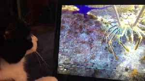 Cat is fascinated by giant lobster on computer screen [Video]