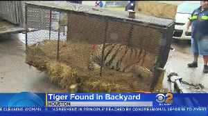 Intruders Break Into Abandoned House To Smoke Pot, Find 700-Pound Tiger [Video]