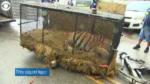 News video: WEB EXTRA: Tiger Found In Vacant Home
