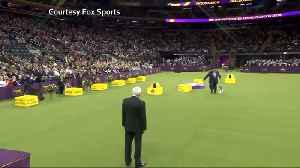 'King' the wire fox terrier wins crown at Westminster dog show [Video]