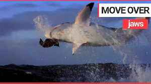 Eclipse of the great white sharks [Video]