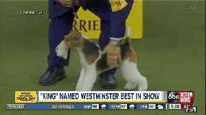 Wired to win: Wire fox terrier named best in show at 143rd Westminster Kennel Club dog show [Video]