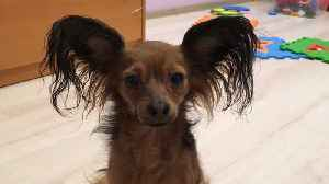 Dog Toy-Terrier [Video]