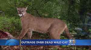 Mountain Lion Killing In Wine Country Sparks Anger [Video]