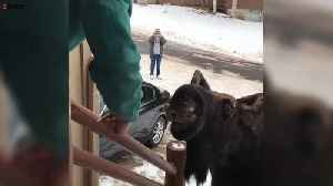 Hungry moose strolls right up to the steps of couples home [Video]