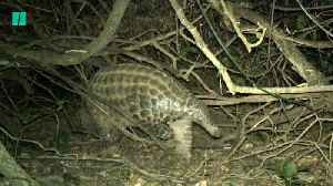 Chester Zoo Conservationists Conduct First Study Of Giant Pangolins in Uganda [Video]